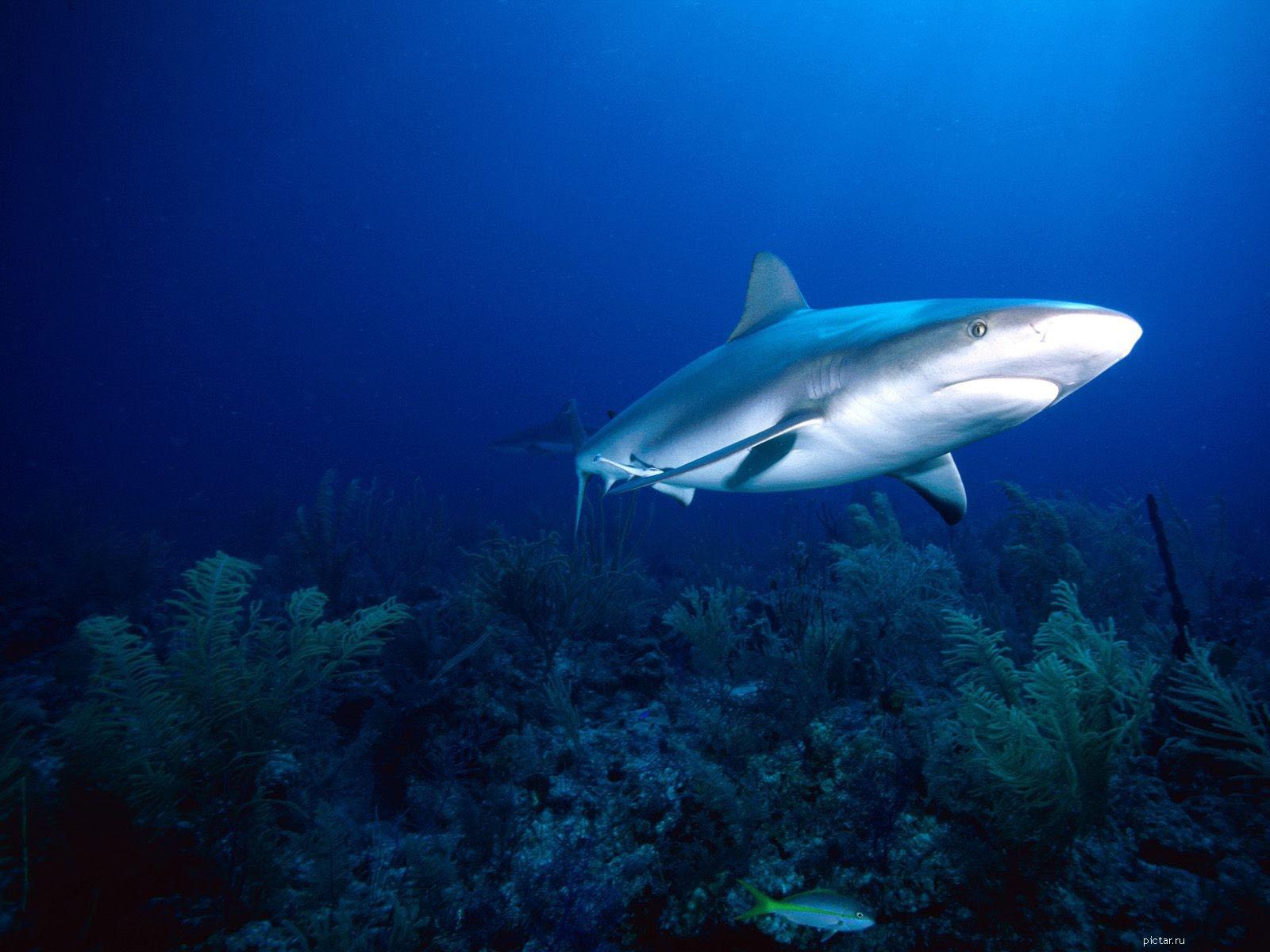 Акула обои акула фото акула картинки