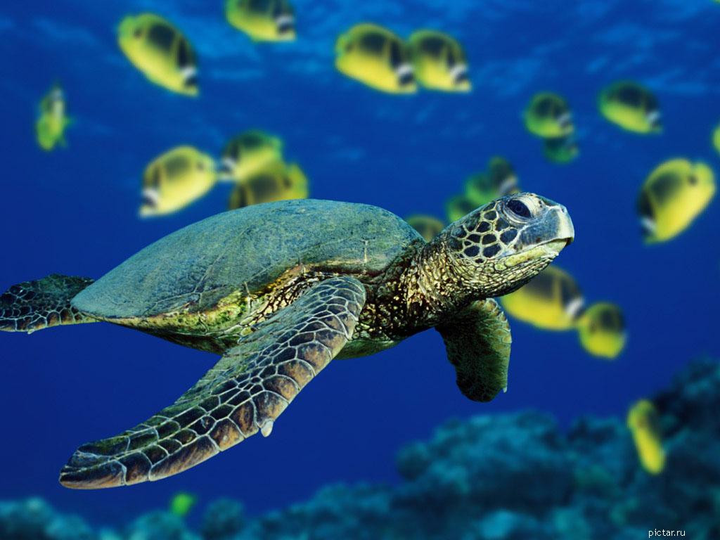 Черепаха на фоне рыб