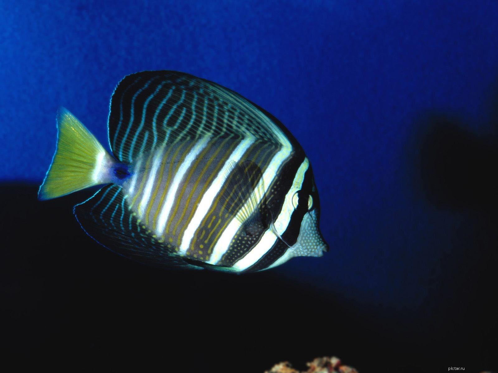 Картинка Плоская рыба - Картинки Подводный мир ... Морская Рыба В Воде