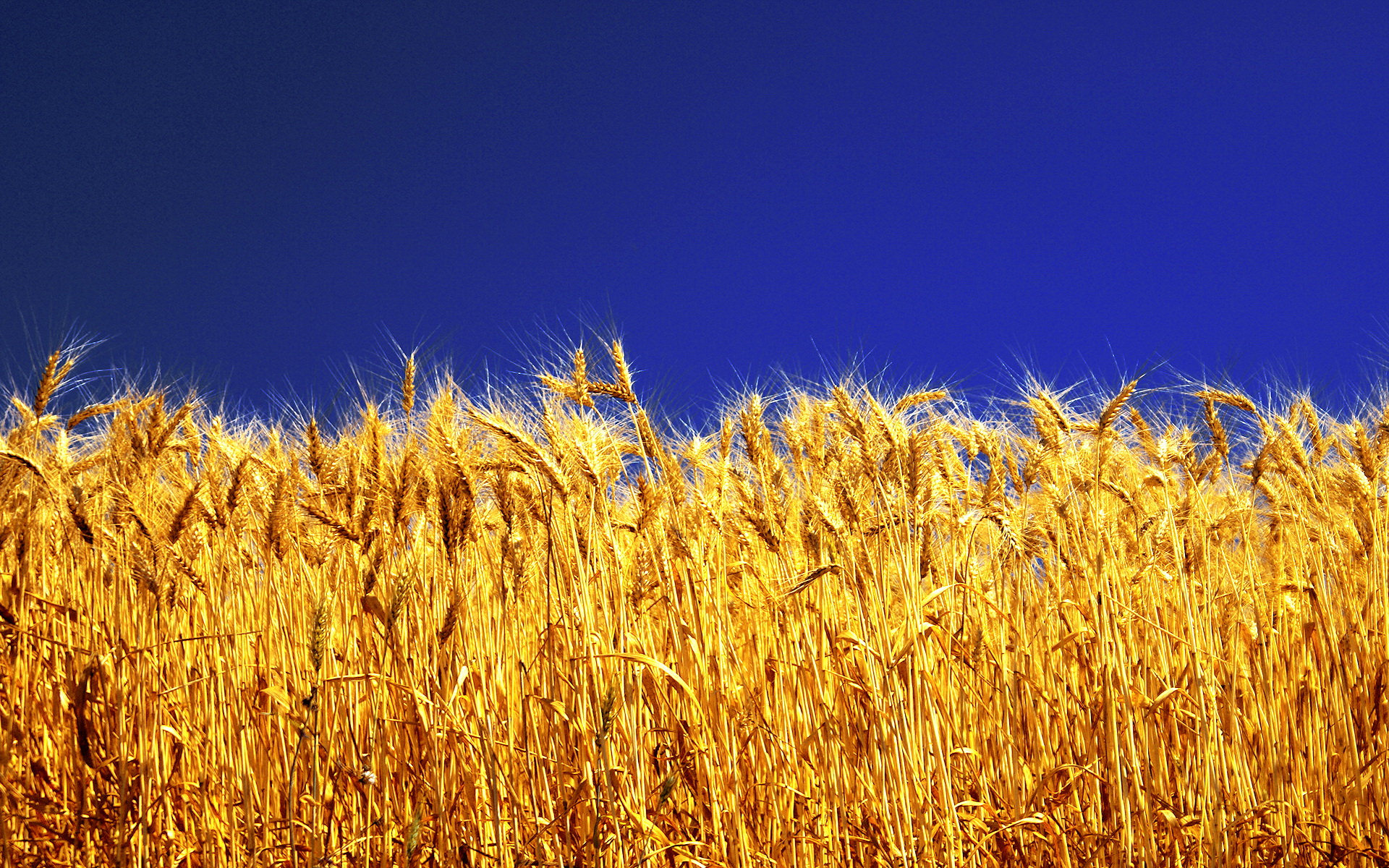 symbolism in a field of wheat by sinclair ross The reason why a wheat-harvest signifies an advancing state of love and charity, is that a field signifies the church, and thus the things of the church.