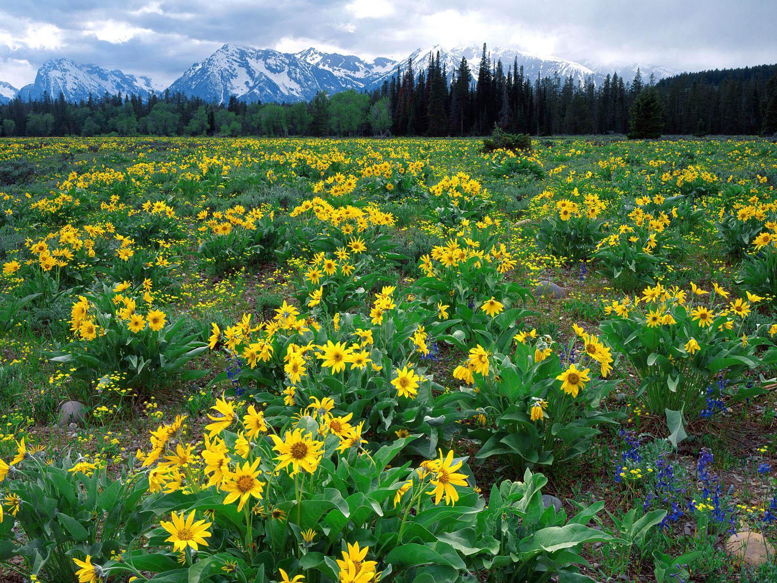 картинка следующая картинка поле ...: pictar.ru/img-pole-s-jeltymi-cvetami-32917.htm
