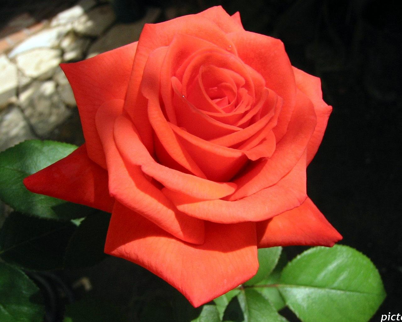 алые розы картинка