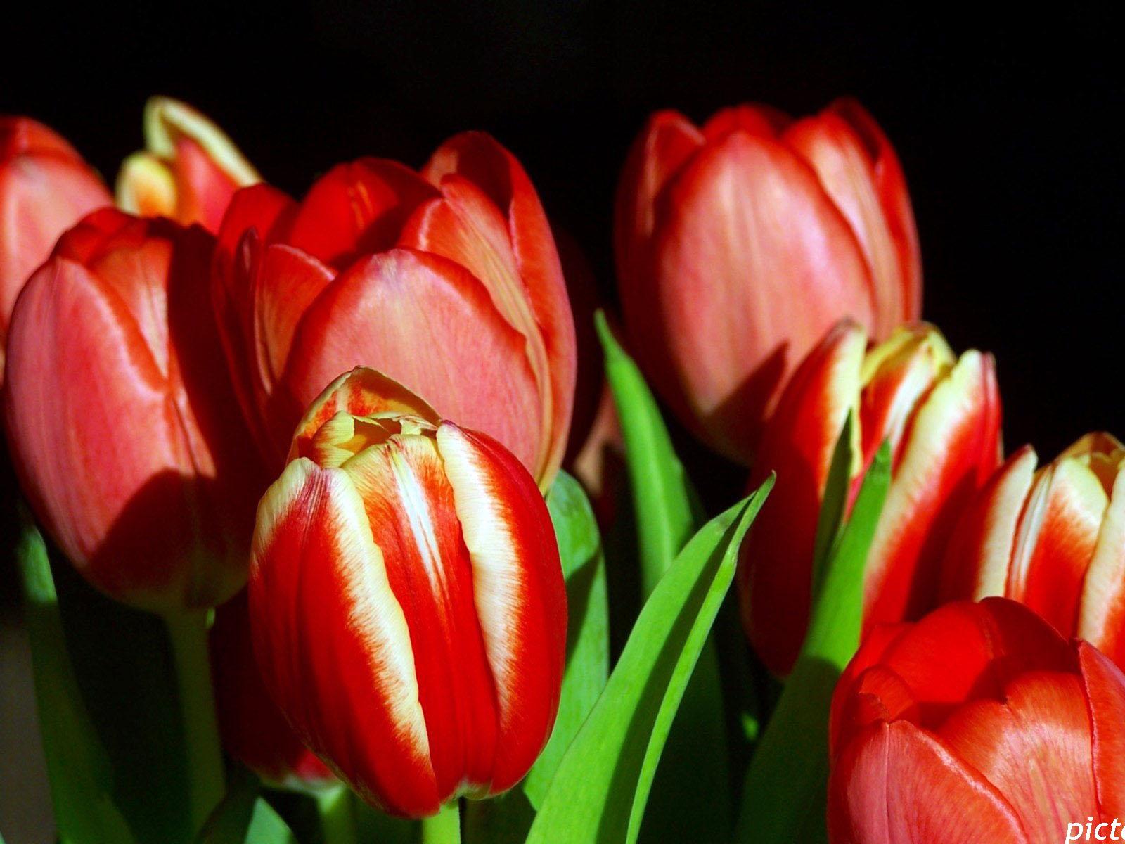 Красные тюльпаны картинка