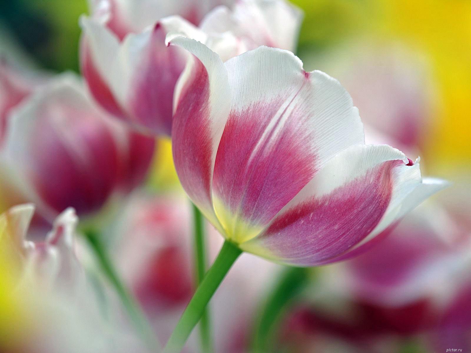 Бесплатные картинки на рабочий стол только тюльпаны 8
