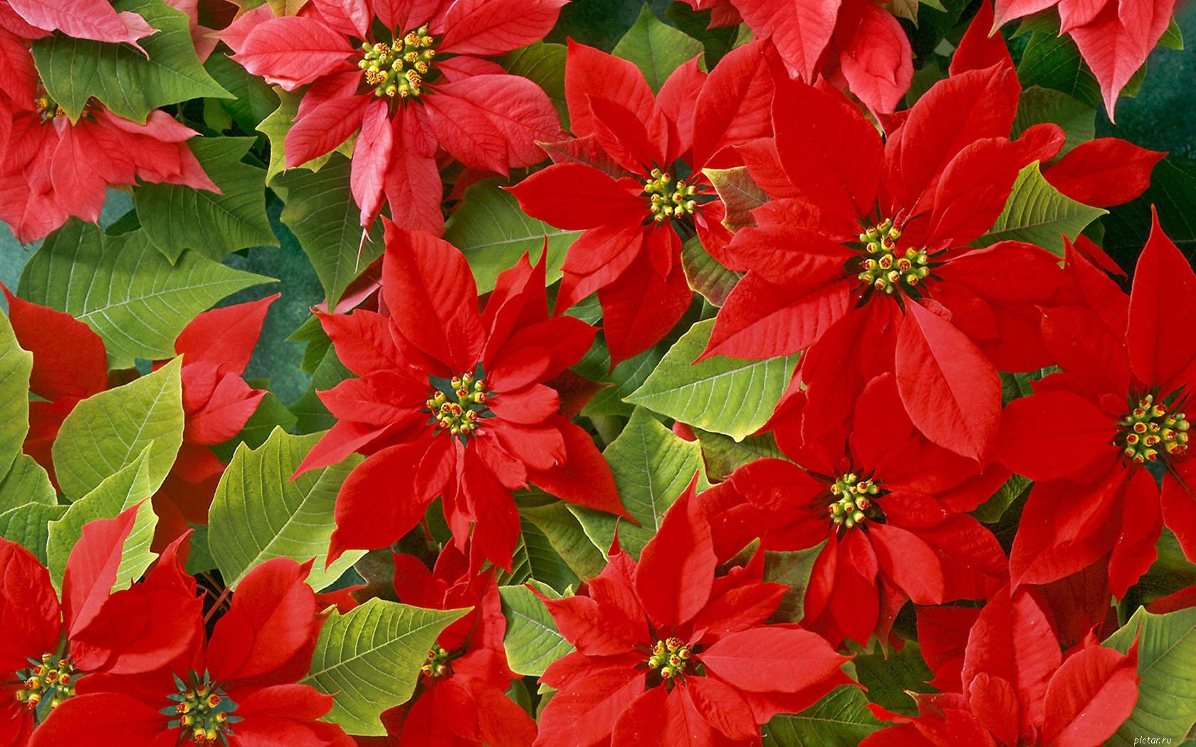 - Imagenes flores de navidad ...