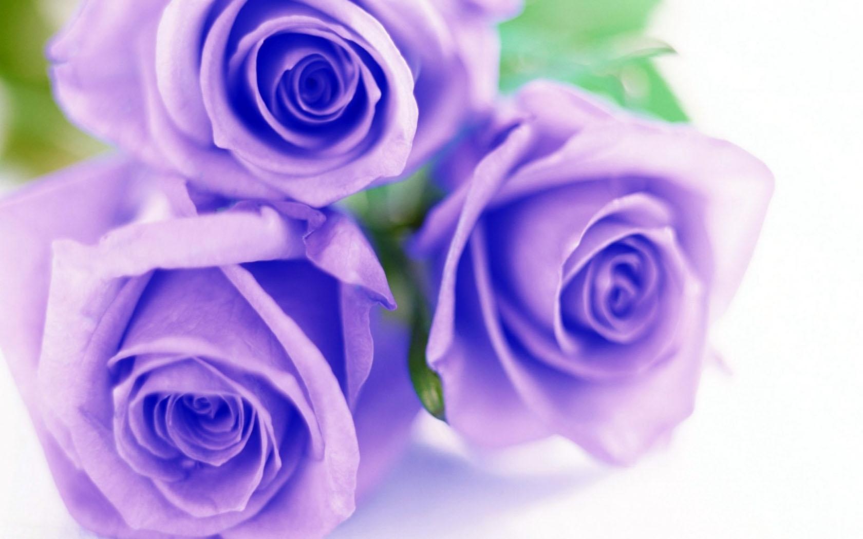 фото сиреневых цветов: